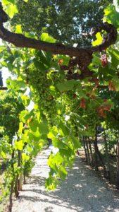 Le conservatoire des vignes à Valmagne