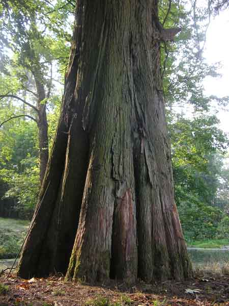 Le tronc du cyprès chauve du château de Preisch
