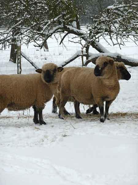 Les moutons Hampshire au Château de Preisch